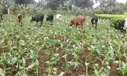 Was President Kiir's order to remove intruded cattle from Equatoria a ploy?